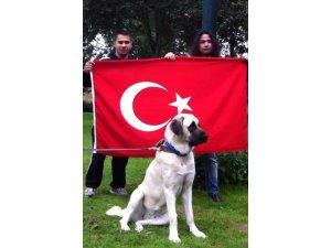 Sivas Kangalları Avrupada Yarışmaların Favorisi