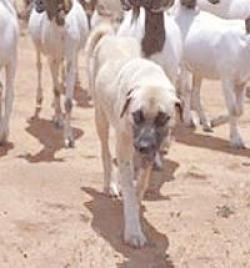 Sivas Kangalı Afrika Çitalarını kurtardı