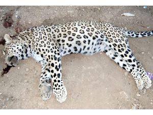 Diyarbakırda öldürülen leopar sergilenecek