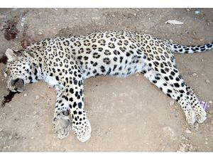 Leoparı öldüren çobana 434 lira ceza