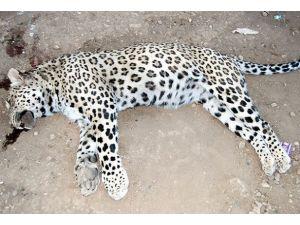 Diyarbakırda öldürülen leopar için suç duyurusu